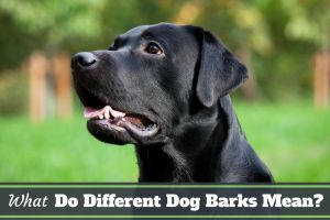 Barking Dog Complaint Letter Template - What Do Different Dog Barks Mean What is Your Lab Saying